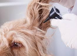 Beste middelen tegen oormijt honden