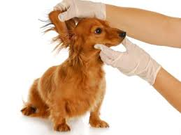 Symptomen oorontsteking hond